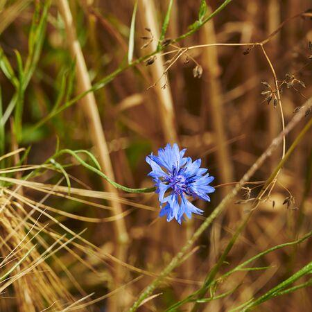 Macro of blue cornflower (Centaurea cyanus) in a grain field. Standard-Bild