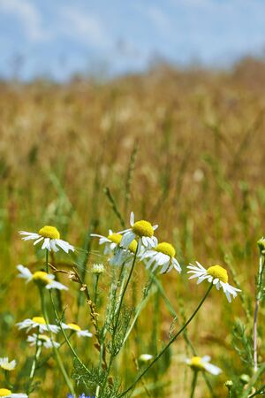 Macro of chamomile flowers (matricaria chamomilla) in front of a grain field.