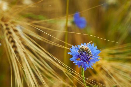 Macro of blue cornflower (Centaurea cyanus) in a grain field with a honey bee on the blossom. Standard-Bild