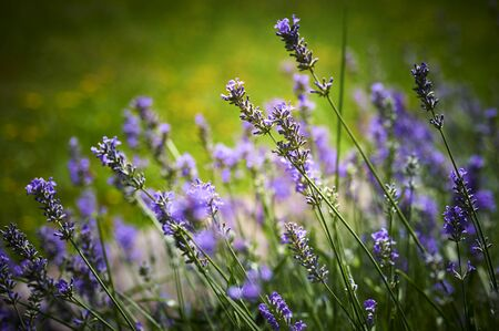 View to lush lavender (Lavandula angustifolia) with green and yellow unfocussed background. Standard-Bild