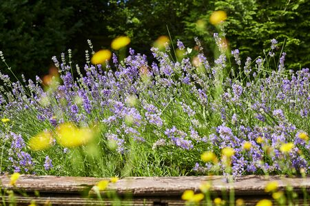 View to lush lavender (Lavandula angustifolia) between yellow blurred wildflowers. The focus is on the middle image plane. Standard-Bild