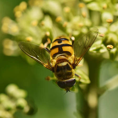 Close up from a hornet mimic hoverfly (Volucella zonaria) on ivy blossoms.