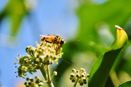 Close up from a hornet mimic hoverfly (Volucella zonaria) on ivy blossoms. Banco de Imagens - 150646880
