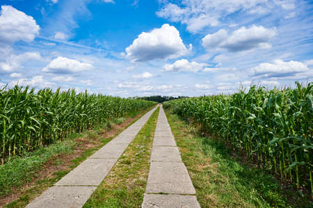Path between corn fields (Zea mays) from a high perspective in the outskirts of Berlin, Germany, under a blue sky with white clouds.