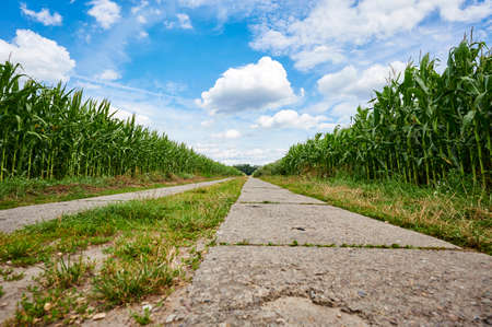 Low angle shot from a path between corn fields (Zea mays) in the outskirts of Berlin, Germany, under a blue sky with white clouds.