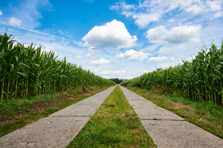 Path between corn fields (Zea mays) from a flat perspective in the outskirts of Berlin, Germany, under a blue sky with white clouds.