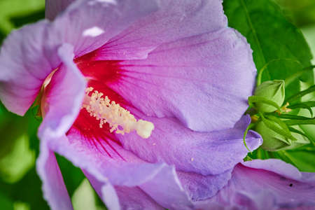 Macro shot of a bright pink hibiscus in the sunlight.