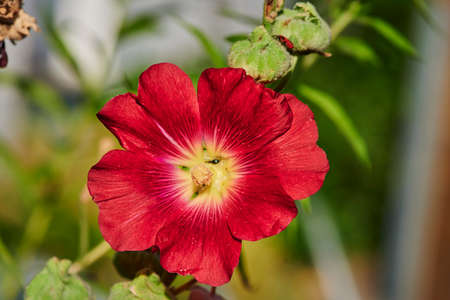 Macro shot of a bright red hollyhock (Alcea rosea) in the sunlight.