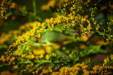 Macro shot of a wasp (Polistes dominula) sitting on a goldenrod (Solidago) in the garden.