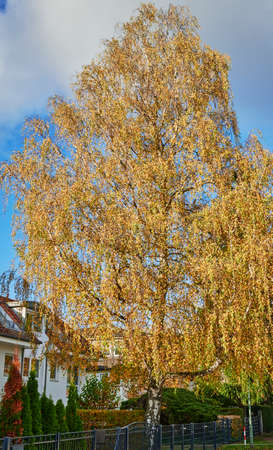Colorful autumn leaves of a birch tree (genus Betula) in the sunlight. 版權商用圖片