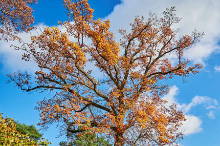 Colorful autumn leaves of an oak tree (genus Quercus) in the sunlight. 版權商用圖片
