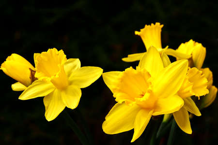 Macroshot from the blossoms of a Jonquil (Narcissus pseudonarcissus) in the sunshine.