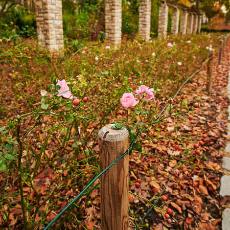 Pink roses between autumn leaves in front of stone pillars. 版權商用圖片
