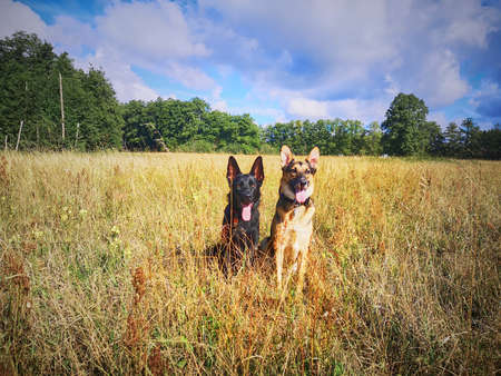 A black German shepherd and a mixed-breed dog between German shepherd and Labrador Retriever are sitting in a field.