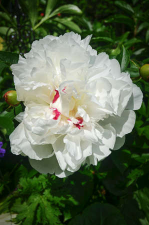 A macro shot of a white peony (paeonia officinalis) in the sun.