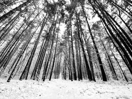 Wide angle view of a forest during snowfall in black and white.