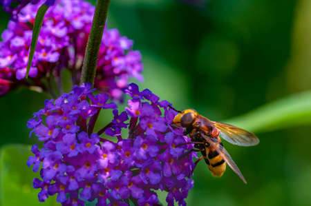Close up from the side to a hornet mimic hoverfly (Volucella zonaria) on buddleia blossoms.