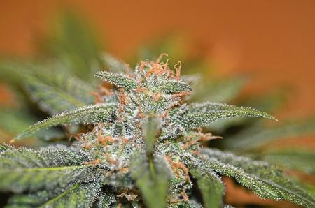 Closeup of medical grade cannabis.