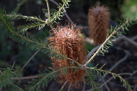 Flowering banksia, Botanical Gardens, Canberra, Australia