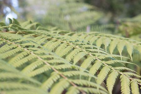 Fern leaves, Botanical Gardens, Canberra, Australia