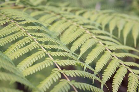 Foliage of fern plant, Botanical Gardens, Canberra, Australia