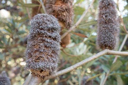Drying banksia flower, Botanical Gardens, Canberra, Australia