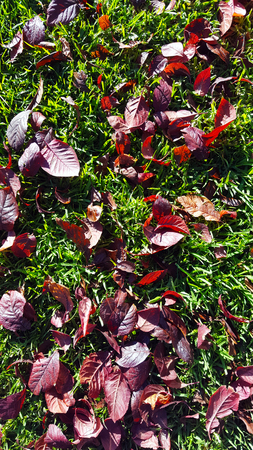 burgundy red leaves on green grass Imagens