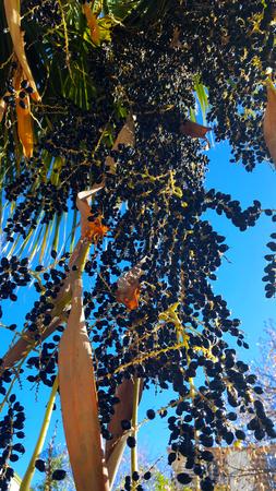 Washingtonia filifera also called California fan palm. Black shiny fruit