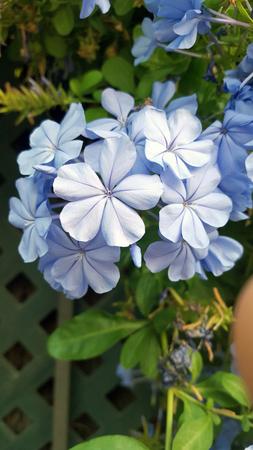 Light blue plumbago with multiple flower heads Imagens