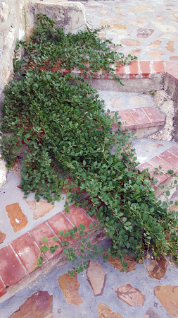 Weeds growing in stone steps with terracotta edge.