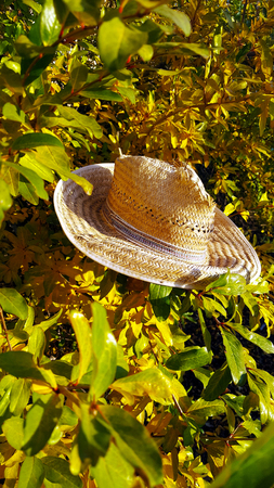 Pomegranate tree with yellow leaves and an old worn out damaged straw hat sitting in its branches