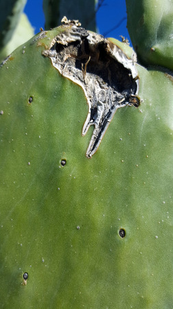 Prickly pear cactus with rounded cladodes (also called platyclades)