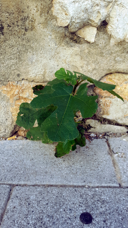 Young fig tree growing in cracks in a sandstone wall Imagens
