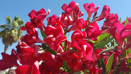 Nerium oleander is a shrub or small tree in the dogbane family Apocynaceae, toxic in all its parts. It is the only species currently classified in the genus Nerium. It is most commonly known as nerium or oleander. Set against a clear blue sky. Imagens - 106960391