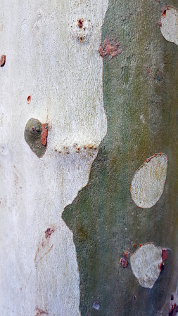 Textured tree bark with flakes and green. London Plane