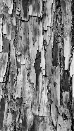 Monocrome of flakey textured tree bark. Black and white.