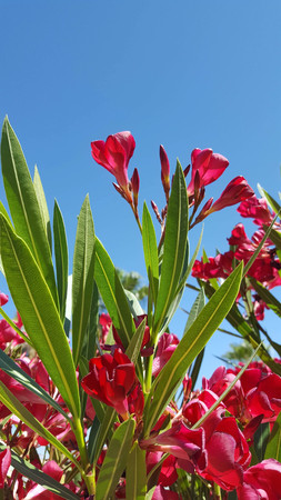 Nerium oleander is a shrub or small tree in the dogbane family Apocynaceae, toxic in all its parts. It is the only species currently classified in the genus Nerium. It is most commonly known as nerium or oleander. Set against a clear blue sky. Imagens