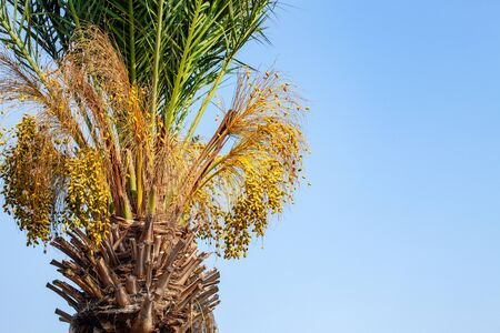A fragment of a date palm tree with leaves and fruits, lit by the sun,  in the background a blue cloudless sky. Close-up. Free space for text.