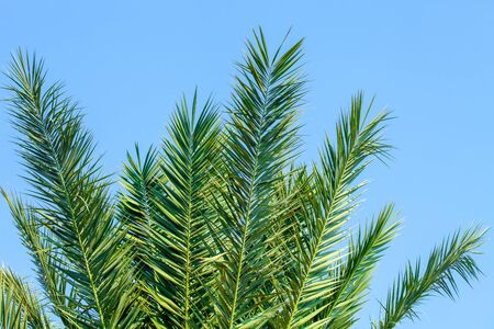 Leaves of a date palm tree lit by the sun against a blue cloudless sky. Close-up
