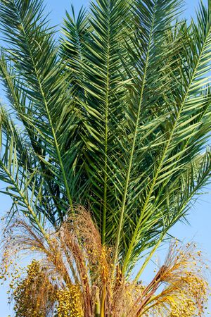 A fragment of a date palm tree with leaves and fruits, lit by the sun,  in the background a blue cloudless sky. Close-up Banco de Imagens