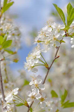 Spring background in delicate colors with a branch of blooming cherry on a background of gentle blue sky. Selective Fox, blur. For postcard, cover, poster. Standard-Bild