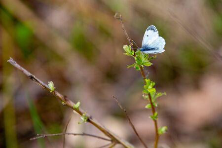 In early spring, a cabbage butterfly sits on a branch of a bush with blooming young green leaves. Bluer