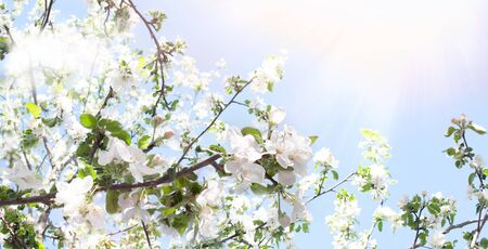 Spring background. Branches of a blossoming apple tree in the sunshine against a blue sky. Spring banner with a joyful mood. Spring wallpaper on the screen. Standard-Bild