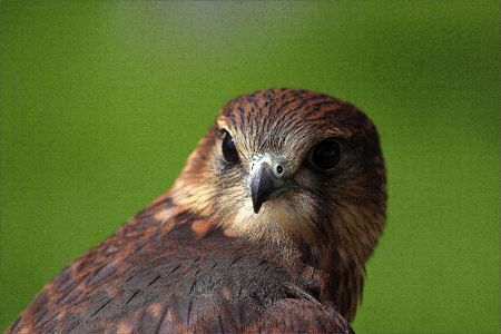 merlin: Merlin Falcon close up of head with green background