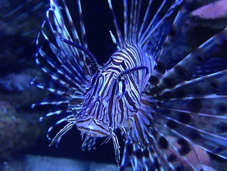 Lion fish in cancun