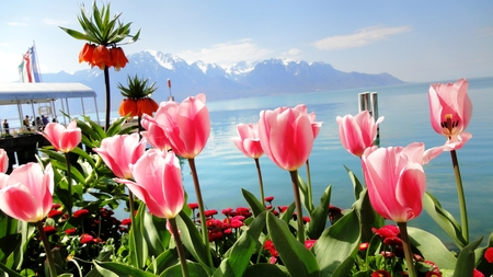 Tulips with Alps view photo