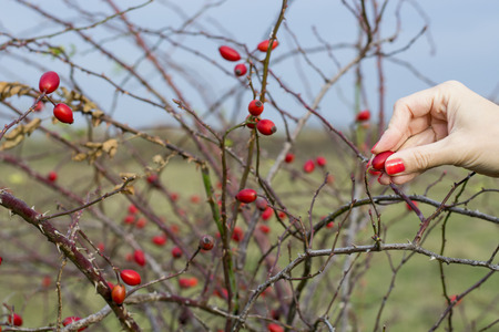 picking hand: Womans hand picking rose hip Stock Photo