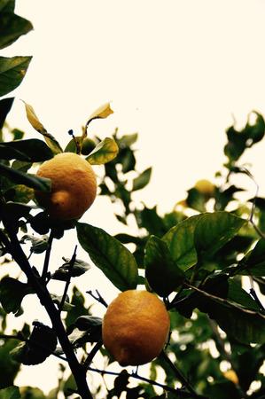 Natural bush lemons wild on a tree - antique style