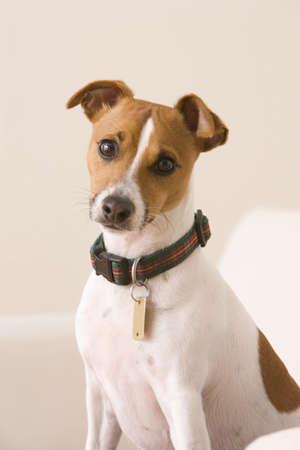 Un terrier vistiendo un collar y una etiqueta de perro está sentado en una silla mirando la cámara. Un disparo vertical.  Foto de archivo