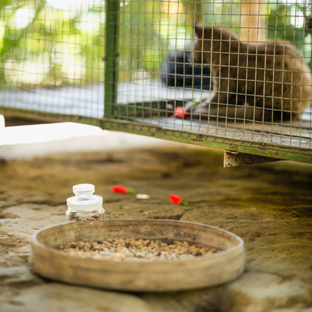 civet cat: Civet coffee farm in Indonesia - Bowl with raw coffee beans in front of cage with civets. Coffee is produced from beans that have been eaten and defecated by civets. Also known as Kopi Luwak, this type of coffee is famous for its non-acidic, smooth taste  Stock Photo